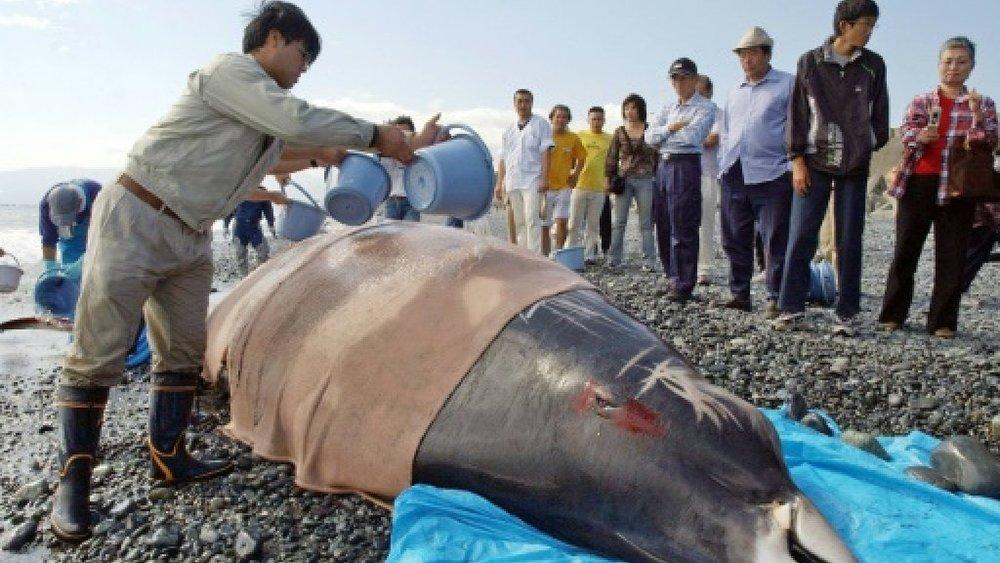 بیماری برطرف فشار به دنبال سونار؛ دلیل اصلی خودکشی نهنگ منقاریان