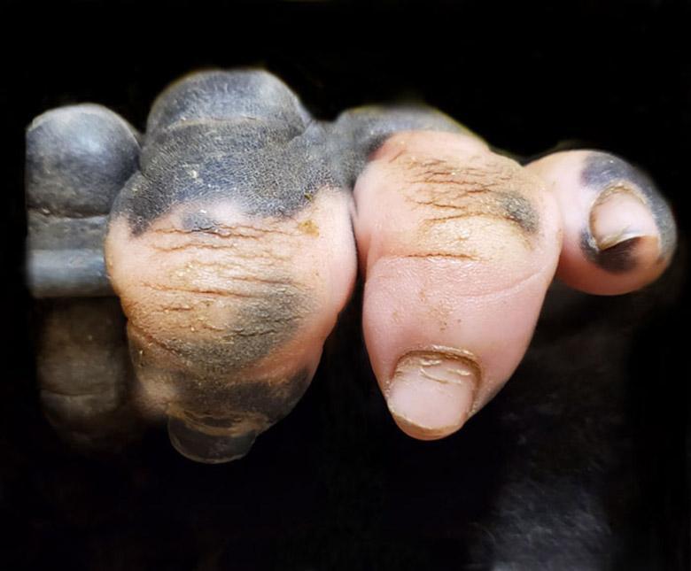 بچه گوریلی که انگشت های دستش شبیه انسان هاست!