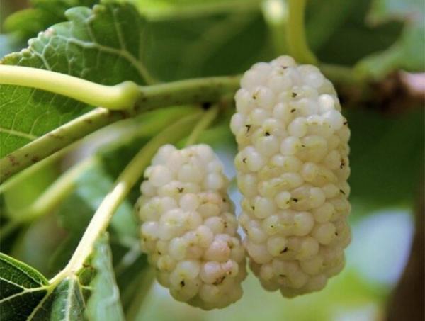 تور اروپا: فراوری توت ارگانیک بر اساس استانداردهای اتحادیه اروپا در کشور